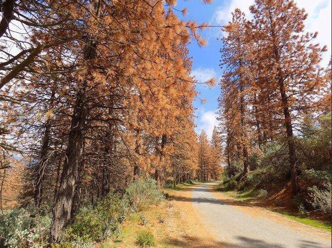 Drought kills 102 million trees in California
