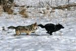 UCLA: Should The Gray Wolf Keep Its Endangered Species Protection?