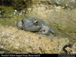 California Wildlife Agency Recommends Evaluating Foothill Yellow-legged Frog for Endangered Species Protections