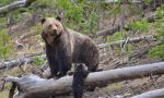 Secretary Zinke Announces Recovery and Delisting of Yellowstone Grizzly Bear
