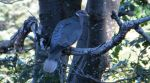 California Department of Fish and Wildlife Researchers are Monitoring Band-tailed Pigeon Mortality
