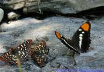 Photo of the Day - May 4, 2016 - Butterflies in Mariposa County