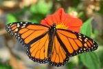 Yosemite National Park Offers Volunteer Opportunity to Restore Monarch Butterfly Habitat at Cascade Falls on Saturday, April 28, 2018