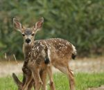 Photo of the Day - June 27, 2016 - Fawns in Mariposa County