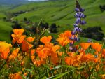 Thousands Visit California State Parks for Wildflower Season