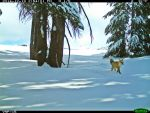 Rare Sierra Nevada Red Fox Spotted in Yosemite National Park