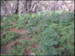 Indictment Returned for Marijuana Cultivation on Chowchilla Mountain in the Sierra National Forest in Mariposa County