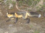 Small Subset of Sierra Nevada Red Fox Near Yosemite National Park Warranted for Endangered Species Act Listing