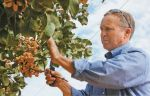 Forces Combine to Shorten California Pistachio Crop