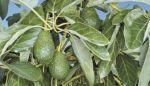 California Avocado Crop Will Be Smaller, Growers Confirm