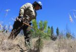 CCC: A Forest in Recovery, Five Years After the Rim Fire
