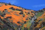 Mariposa County Merced River Canyon Poppies 2009 - By Linda Gast