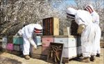 California Central Valley Almond Growers Consider Beekeeping