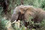 Center for Biological Diversity Reports Trump Administration Reverses Elephant Trophy Import Ban