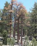 Forest Service Unveils Web Application Identifying At Risk Forests - Sierra National Forest Susceptible To Tree Mortality