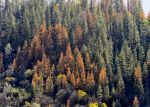 Mariposa County Resource Conservation District to Host Tree Mortality Workshop on April 18, 2015