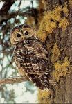Lawsuit Launched to Stop Destruction of California Spotted Owl Habitat in  Mature Forests in Sierra Nevada
