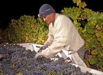 2016 California Wine Harvest Report - Early, Normal Yield, Exquisite Quality