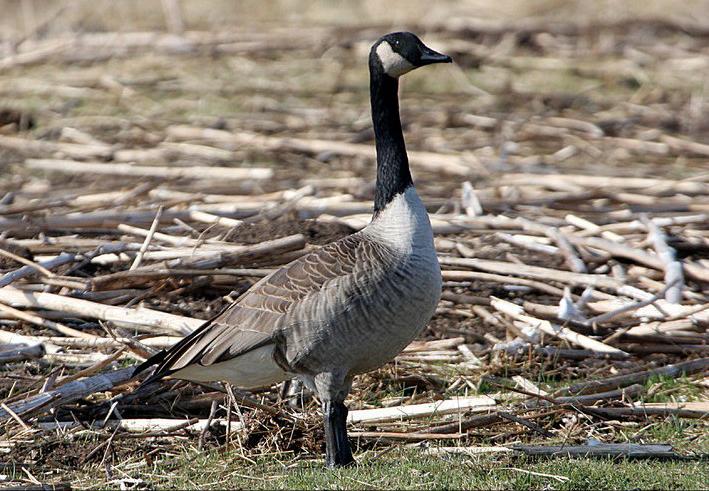 canada goose linda gast sierra sun times