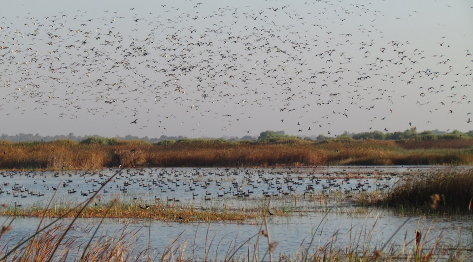 pintails flying on 15 ac seas wetl during drought 2014 09 06