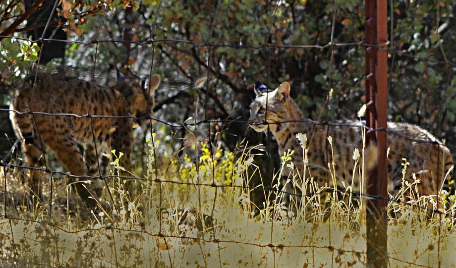 bobcat fight ja mariposa county