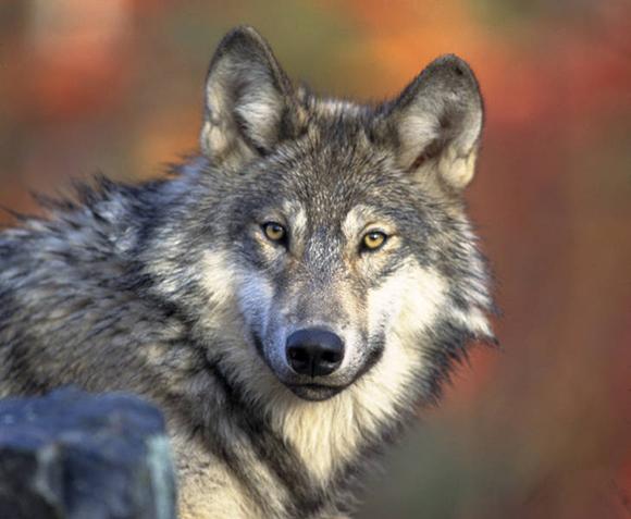 graywolfcreditGaryKramerUSFWS