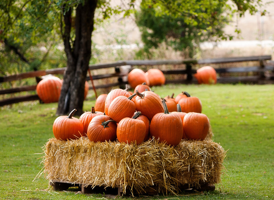 Enjoy A Visit To The Pumpkin Patch At Jerseydale Ranch In