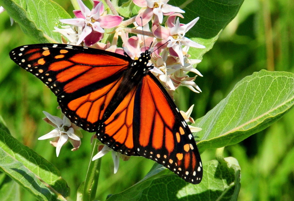 monarch on showy milkweed Credit USFWS and Tom Koerner