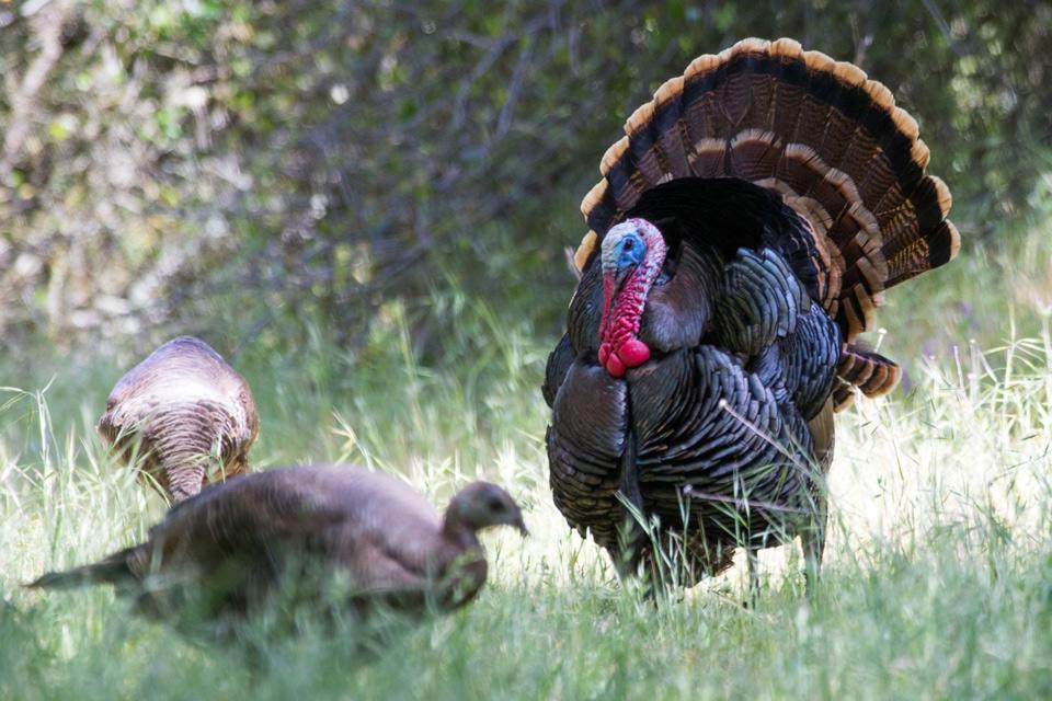turkey 20180427 avu amerrivwildlife.cr2 11